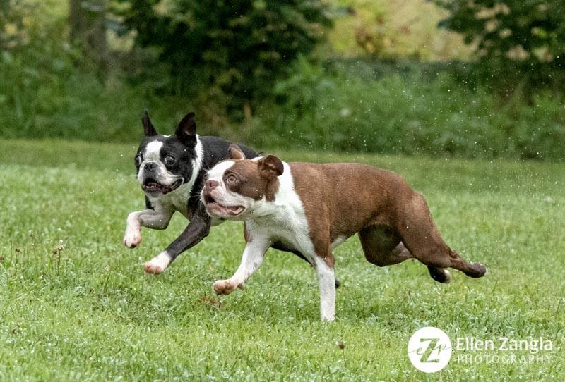 Photo of two Boston Terriers playing in Loudoun County VA by Ellen Zangla Photography