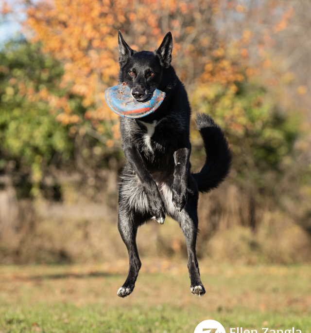 Photo of dog catching a Frisbee by Ellen Zangla Photography in Loudoun County VA