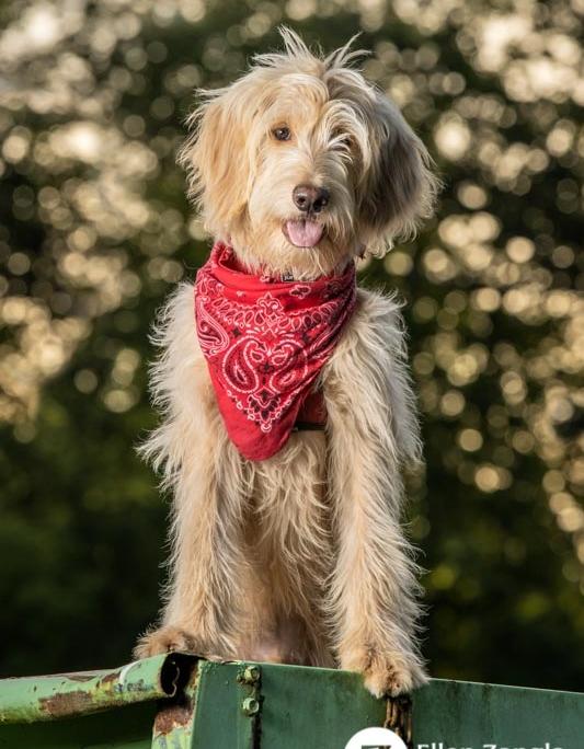 Photo of Goldendoodle puppy in Loudoun County VA by Ellen Zangla Photography
