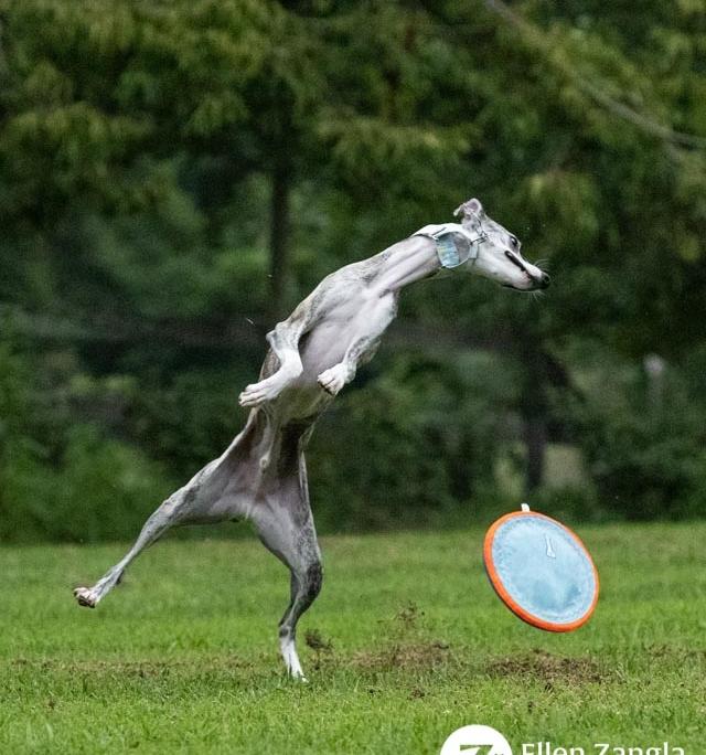 Funny Whippet photo in Loudoun County VA by Ellen Zangla Photography