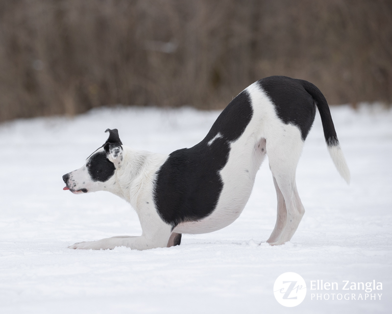 Funny photo of American Staffordshire Terrier mix in the snow in Loudoun County VA by Ellen Zangla Photography