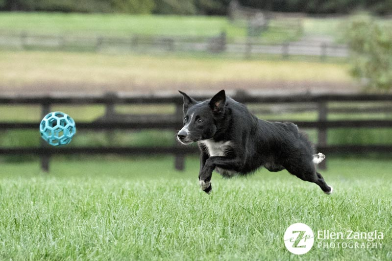 Photo of Border Collie mix chasing a ball in Faquier County by Ellen Zangla Photography