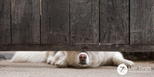 Funny photo of dog looking under a gate by Ellen Zangla Photography in Loudoun County VA