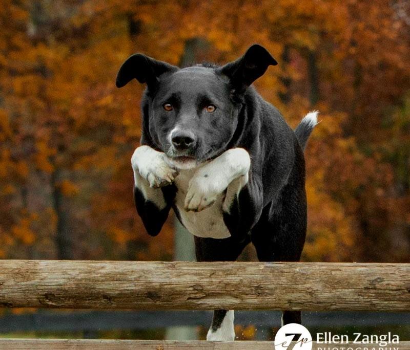 Photo of Great Dane mix jumping by Ellen Zangla Photography in Faquier County VA