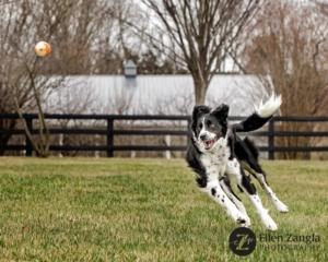 Photo of dog chasing ball in Faquier County by Ellen Zangla Photography