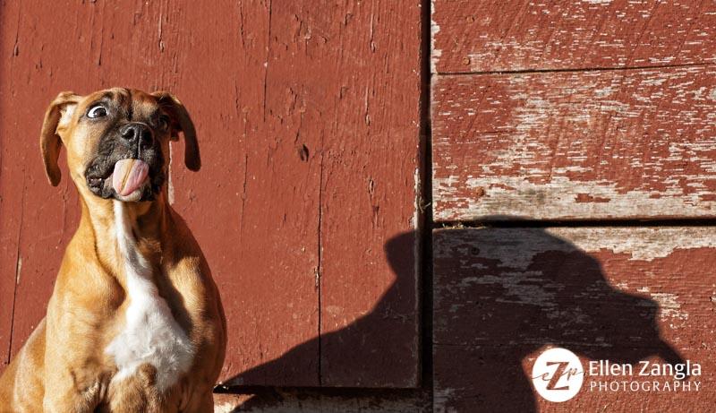 Funny photo of Boxer taken by Ellen Zangla Photography in Loudoun County VA