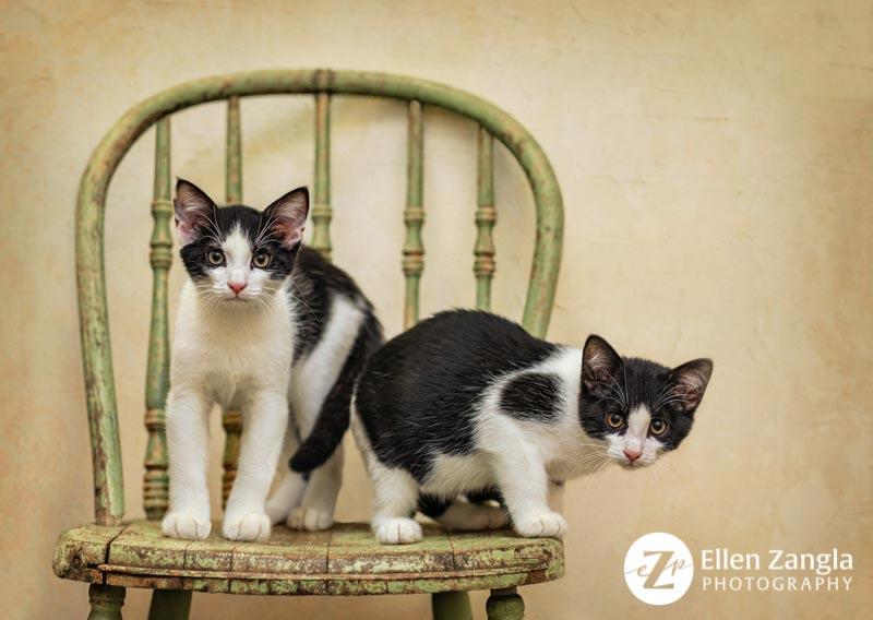 Award-winning kitten photo in Leesburg VA by Ellen Zangla Photography