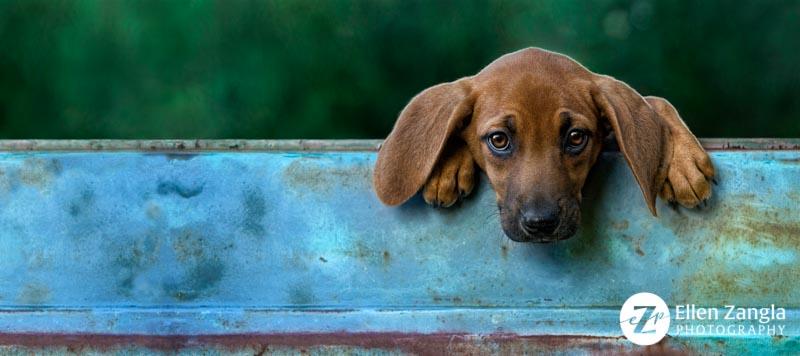 Award-winning photo of Redbone Coonhound Puppy in Loudoun County VA by Ellen Zangla Photography