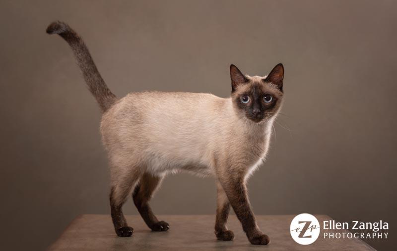 Award-winning photo of Siamese Cat taken in Loudoun County VA by Ellen Zangla Photography