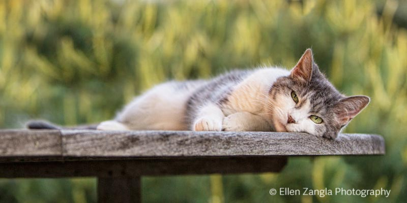 Photo of gray and white cat in Loudoun County VA by Ellen Zangla Photography