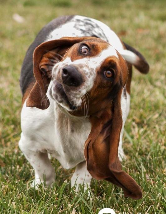 Funny photo of Basset Hound by Ellen Zangla Photography in Ashburn VA
